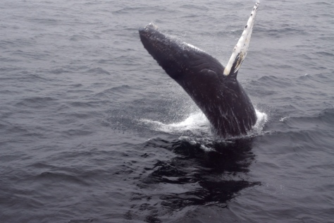 Shades of Moby Dick.... a breaching whale in the Stellwagen Banks off the coast of Massachusetts.