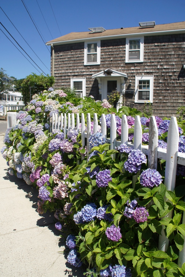 Hydrangeas in Rockport.