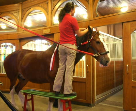 A Clydesdale mani-pedi and mane braiding