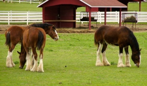 "Gentle giants relax at the Clydesdale ""prep school,"" Grants Farm in St. Louis."