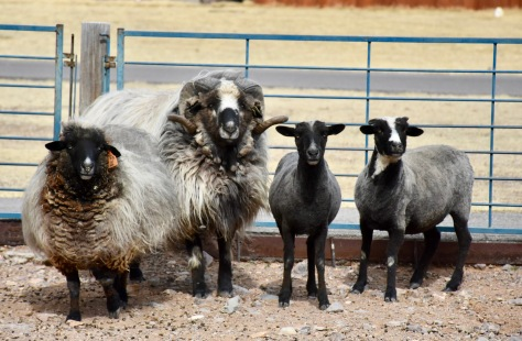 sheep at New Mexico Farm & Ranch Museum www.offthebeatenpagetravel.com