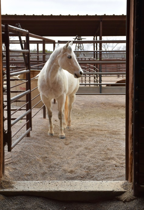 white horse at New Mexico Farm & Ranch Museum www.offthebeatenpagetravel.com